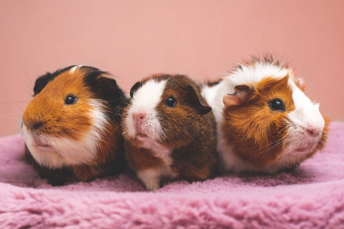 Guinea Pig Awareness Week